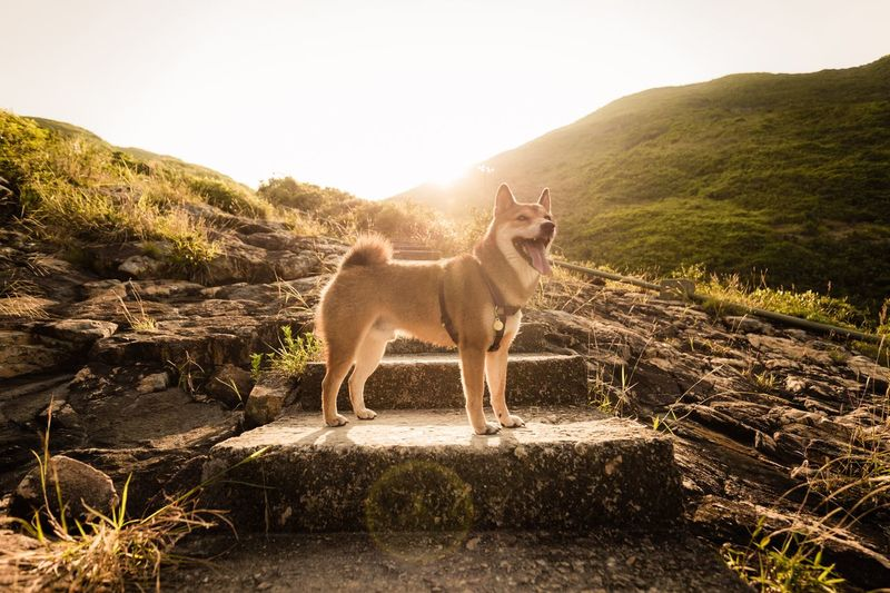 Low angle side view of dog standing on steps in green landscape against sunrise