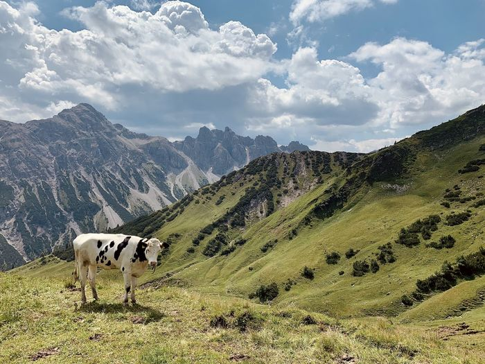 Hiking the alps cows relaxing