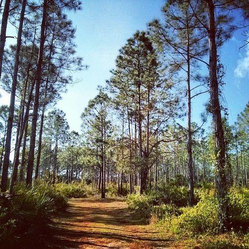 Pine Flatwoods at @crewtrust Nature Naturewalks Hikingtrail Marshtrails florida watershed conservation