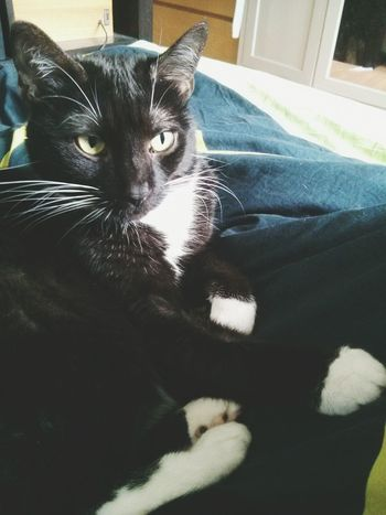 Cat Cat Content Black Cat Meow