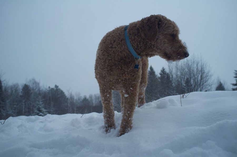 January 26, 2016 Adventure Animal Themes Cold Cold Temperature Covered Covering Day Dog Domestic Animals Duluth Goldendoodle Mammal Minnesota No People One Animal Outdoors Season  Weather White White Color Winter