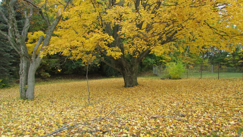 Taking Photos Bright Colors Yellow Leaves Loving Fall Covering The Ground So Calm&peacefullCadillac Pure Michigan