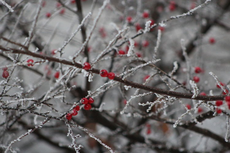 Backgrounds Beauty In Nature Branch Brench Close-up Cotoneaster Day Focus On Foreground Freshness Growth Nature No People Outdoors Red Road Snow Straight Twig Ways Winter Adapted To The City Miles Away Red Pearls