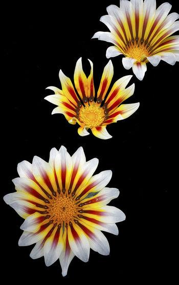 Orange Red Black Background Close-up Flower Head Flowering Plant Gazania Inflorescence Petal Yellow