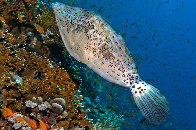Red Sea Diving Scuba Diving Animal Wildlife Beauty In Nature Reef Fish Sea Life UnderSea Underwater