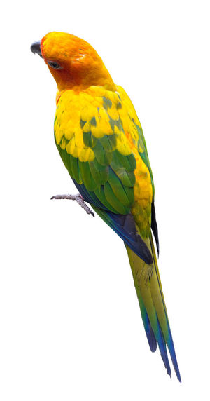 Close-up of parrot perching on yellow background