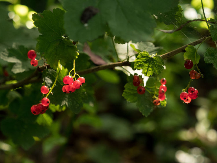 Garden Photography (cont.) Beauty In Nature Berry Fruit Close-up Day Evening Evening Light Focus On Foreground Fruit Garden Garden Photography Green Color Growing Growth Leaf Nature Nature No People Outdoors Plants Plants And Garden Red Redberries Rowanberry Sunset Tree