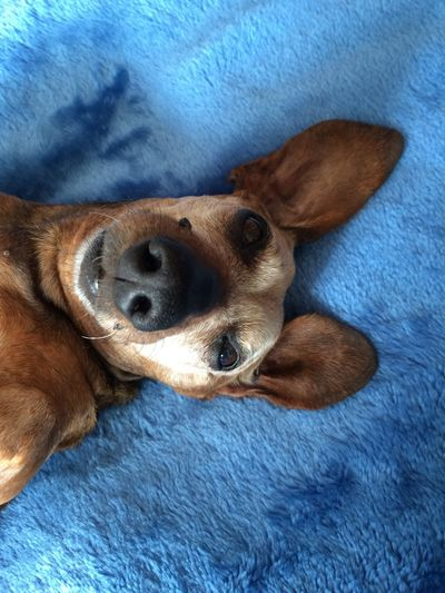 Just Chillin' My Dog Senior Dog Dachshund Dog Photography Dogs Of EyeEm Cute Dogslife 14 Years Old Dog Love Aging Cute Age Of Wisdom Animal Themes One Animal Animal Mammal Pets Domestic Animals Dog High Angle View Indoors  Brown Looking At Camera Portrait Close-up Blue Relaxation