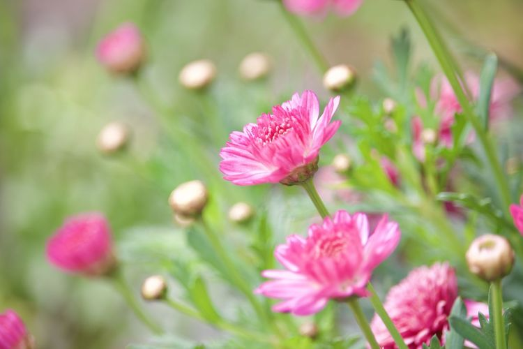 Close-up of pink flowering plant in field