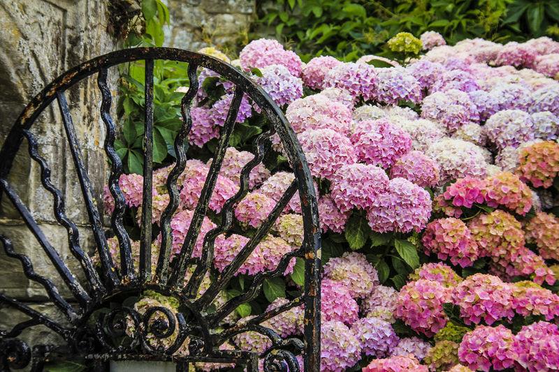 Wrought iron garden gate with pink hydrangeas