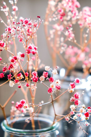 Gypsophila or baby's breath flowers beautiful pink flower blooming with soft light. selective