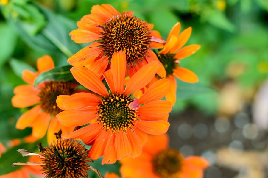Beautiful orange flowers healthy medicinal herbal plants echinacea Echinacea Echinacea Purpurea Medicinal Plant Orange Color Backgrounds Autumn Colors Flower Nature Petal Beauty In Nature Flower Head Growth Freshness Fragility Blooming Plant Focus On Foreground Pollen No People Day Outdoors Close-up