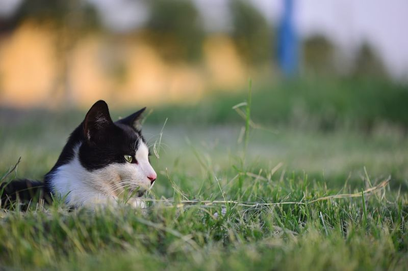 Side view of cat resting on grass field