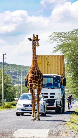 in harmony with the wild....some of my street occurrences....lucky but yes....this is my Kenya Kenya The Street Photographer - 2018 EyeEm Awards Animal Animal Wildlife Coexist Giraffe Herbivorous Land Vehicle Mammal Mode Of Transportation Outdoors Standing Streetphotography Wild