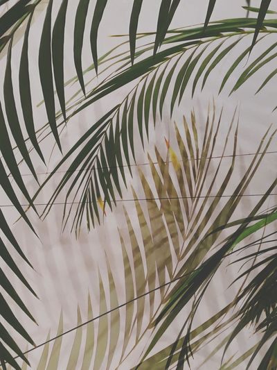 Tree Palm Tree Frond Close-up Sky Palm Leaf Date Palm Tree Irrigation Equipment Tropical Tree Leaves Growing Plant Life Plantation This Is Masculinity