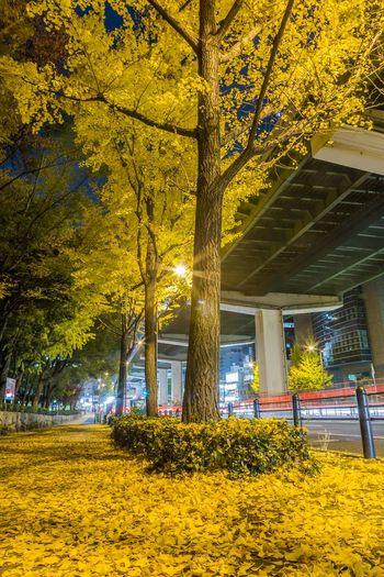 黄色い絨毯 OSAKA Japan Nightphotography Highway Street Streetphotography Ginkgo Tree Flower Yellow Architecture Built Structure Building Vehicle Street Scene