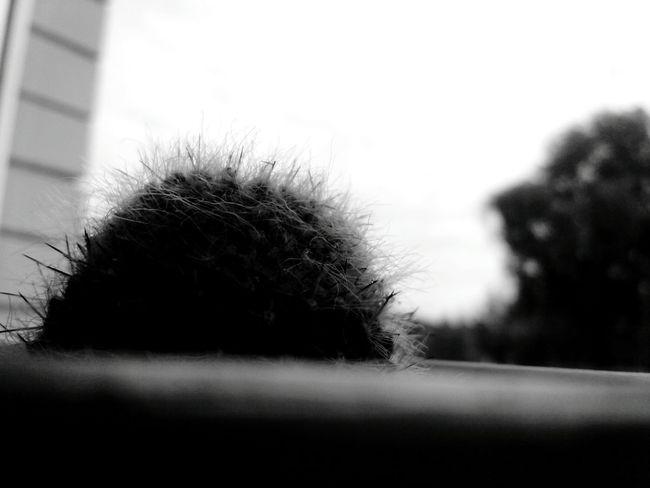 No People Day Tree Outdoors Grass Close-up Nature Sky Kaktus Kaktusflower Kaktusy Landscape Blackandwhite