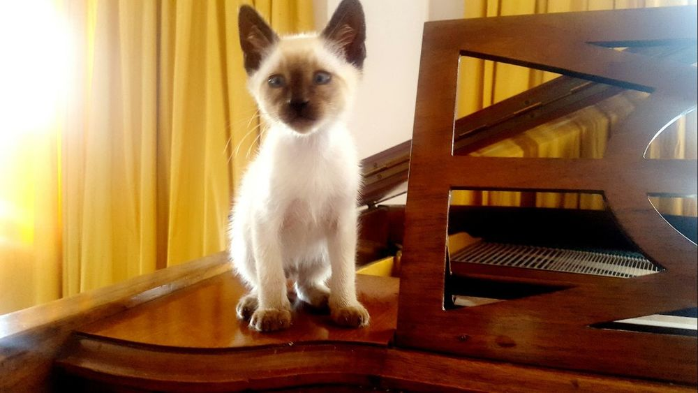 Domestic Animals One Animal Animal Themes Sitting Indoors  No People Mammal Portrait Day Cat Catslife Cat Siamese Young Cat Kitty Siamese Cat