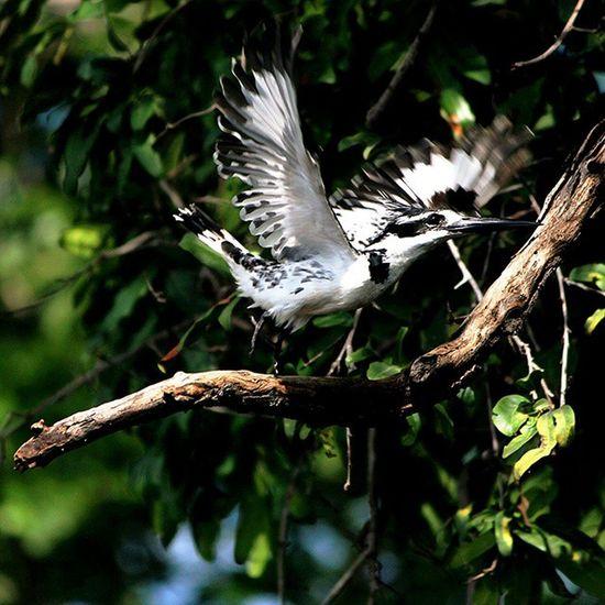 Pied Kingfisher Chobe Botswana Africa Naturelover_gr Natgeo Princely_shotz Natureaddict Animalsaddict Squaredroid @Animals Wildlife Africanamazing