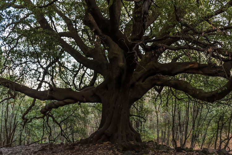 """This oak located on volcano Etna, called """"Ilice di Carrinu"""", is nearly 700 years old Ancient BIG Catania Etna Giant Nature Plant Sicily Tree Wood Branch Forest Ilice Di Carrinu No People Oak Old Outdoors Quercus Quercus Ilex Trunk"""