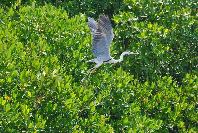 crane bird Negambo Lagoon Sri Lanka Crane Bird Flying