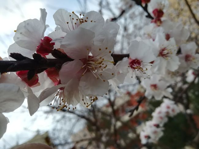 Flower Head Tree Flower Branch Springtime Backgrounds Red Blossom Petal Close-up Apple Blossom Pistil Stamen Botany Orchard Plant Life Cherry Blossom Cherry Tree In Bloom Day Lily Rhododendron Hibiscus Blooming Passion Flower Lily Apple Tree Fruit Tree Single Flower Focus Cosmos Flower