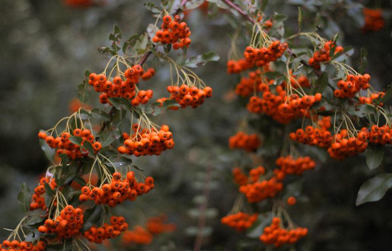 Close-up of red orange rowan berries on tree