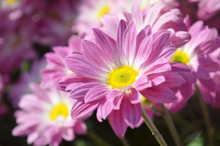 Chrysanthemum Fall Mums Beautiful Flower Nature Beauty Fresh Plant Floral Bloom Botany Green Pink Closeup White Leaf Spring Garden Romance Blossom Flora Aroma Blooming Petals Autumn Summer Background Natural Bright Sunny Vibrant Petal Botanical