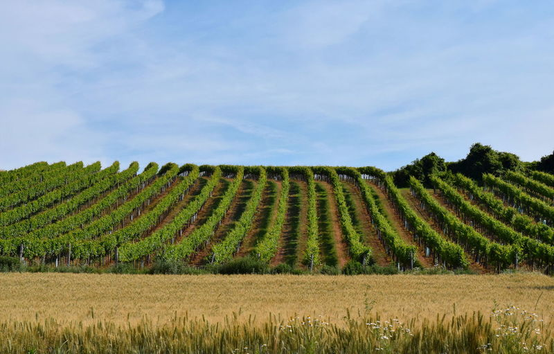 Vineyards in
