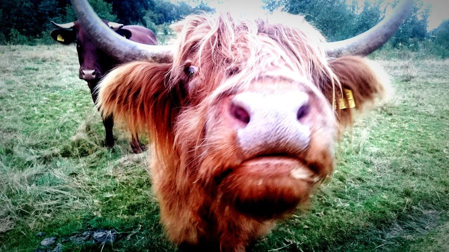 Rind Animal Themes Animal Nose Outdoors Nature Cow Cows Brown Animal Themes One Animal Animal Head  Close-up Beef Domestic Cattle Livestock Front View Field Brown Highland Cattle Animal Hair Zoology Animal Nose Herbivorous Looking At Camera