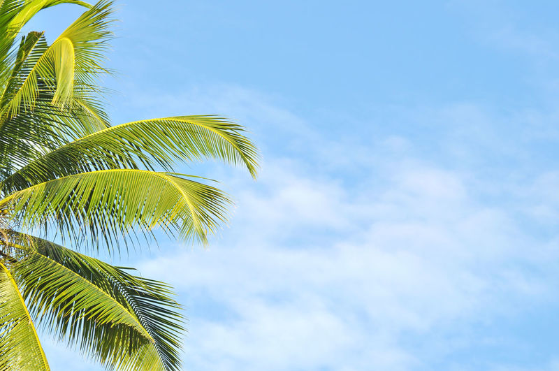 coconut palm tree Blue Sky Cloud - Sky Coconut Coconut Palm Tree Copy Space Copyspace Frond Green Leaf Palm Palm Tree Tree
