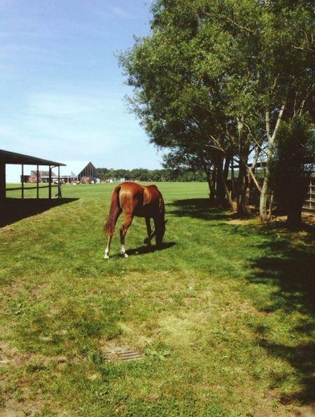 Polo Horse Horses Hamptons East Hampton