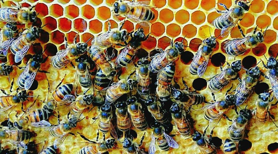 Beehive Insects