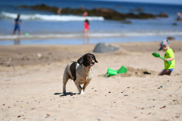 Beach Land Canine Dog Animal Animal Themes One Animal Sand Mammal Domestic Water Sea Pets Domestic Animals Nature Day Incidental People Focus On Foreground Outdoors Running Dog Beachlife Scotland Summer Digging