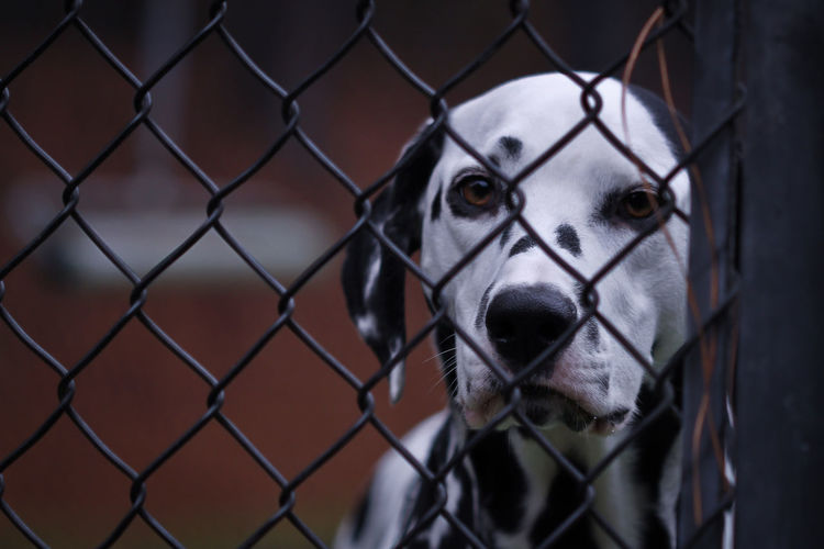 Portrait of dog seen through chainlink fence
