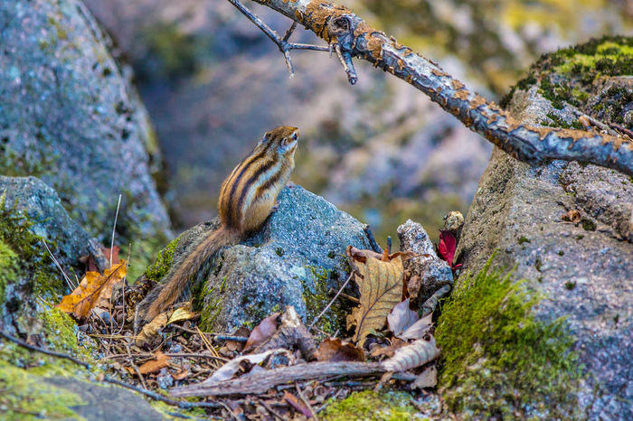 A chipmunk is eating on a rock. Seoraksan National Park Animal Themes Animal Wildlife Animals In The Wild Beauty In Nature Chipmunk Chipmunk Photography Close-up Day Focus On Foreground Nature No People Outdoors Seoraksan Tree