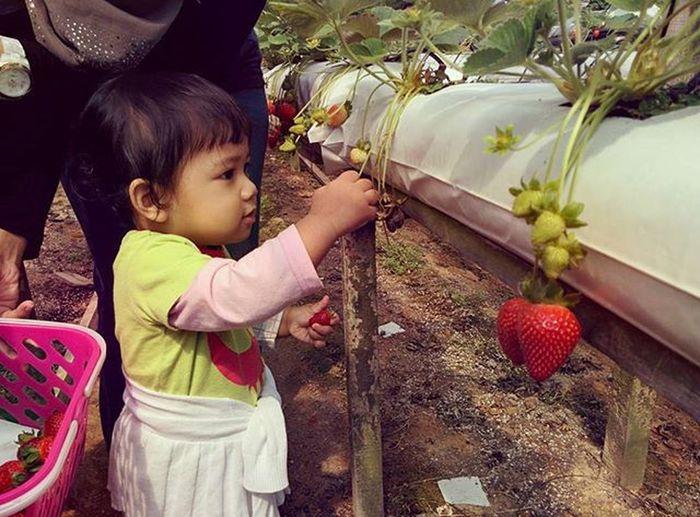 Pick and pluck Rajuhillstrawberryfarm Pickyourownstrawberries Cameronhighlands ShortVacation