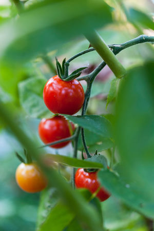 Close up of ripe cherry tomatoes growing on vine Food And Drink Tomatoes Growing Cherry Tomatoes Close Up Close-up Day Food Food And Drink Freshness Fruit Garden Green Color Growth Healthy Eating Leaf Macro Nature No People Organic Outdoors Red Tomato Tomato Plant Tomato Vine Tomatoes