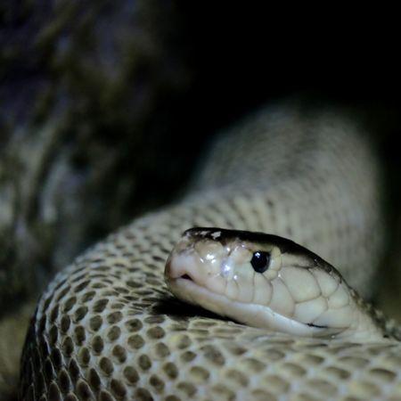 Animal Wildlife Close-up Animal Themes One Animal No People Animals In The Wild Cobra Cobra Snake Bangkok Thailand. Zoo Zoo Photography  Snake Snake Eyes