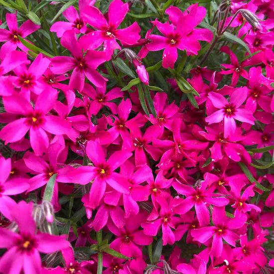 Blossoms02 Pink Color Flower Flowering Plant Plant Beauty In Nature Petal Close-up