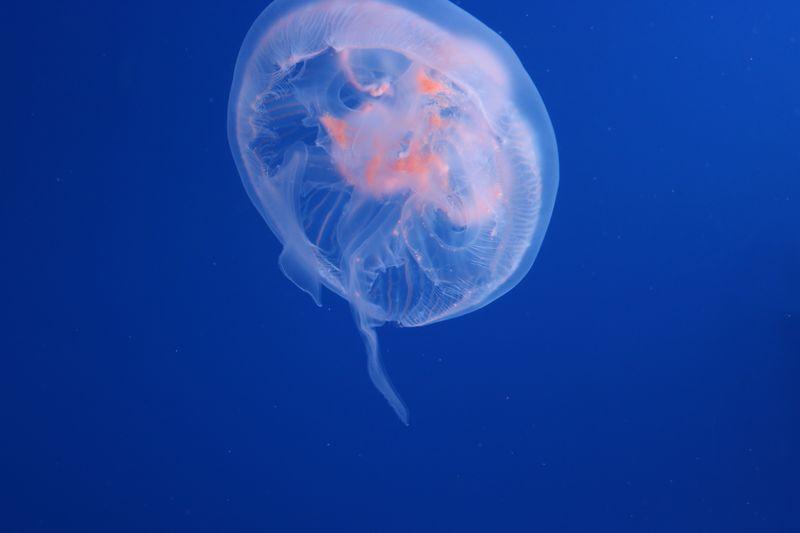Animals In The Wild Water Animal Themes Sea Jellyfish Swimming Animal Wildlife Underwater Blue Sea Life Animal Marine One Animal Nature No People Vertebrate Invertebrate UnderSea Outdoors Floating On Water