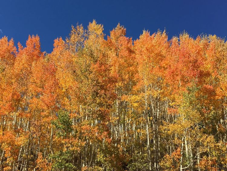 Orange in nature Autumn Change Tree Season  Beauty In Nature Scenics Growth Forest Tranquil Scene Tranquility Low Angle View Nature WoodLand Non-urban Scene Orange Color Blue Clear Sky Vibrant Color Day Ethereal Guardsmanpass Parkcityutah