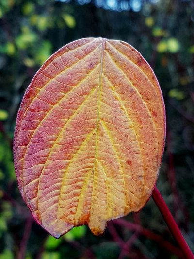 Leaf Nature Autumn Tree Close-up Change Focus On Foreground Beauty In Nature Outdoors Environment No People Day The Last Leaf On The Tree