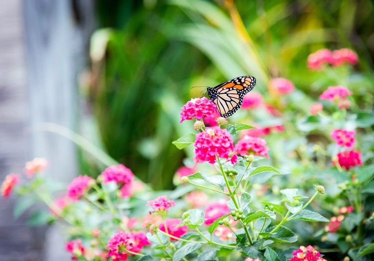 Monarch butterfly in her garden. Flower Nature Fragility Insect Animals In The Wild Plant Beauty In Nature Freshness Animal Themes Butterfly - Insect One Animal Pink Color Growth Petal No People Flower Head Outdoors Close-up Day Leaf