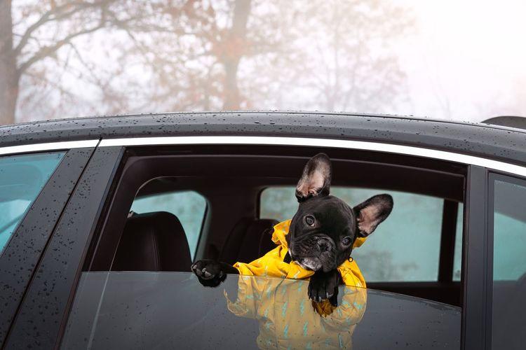 Frenchie Puppy French Bulldog Frenchbulldog Dog Pets Looking At Camera Warm Clothing Winter Car Close-up Canine Domestic Animals Car Door Passenger Seat RainDrop Rain Raincoat