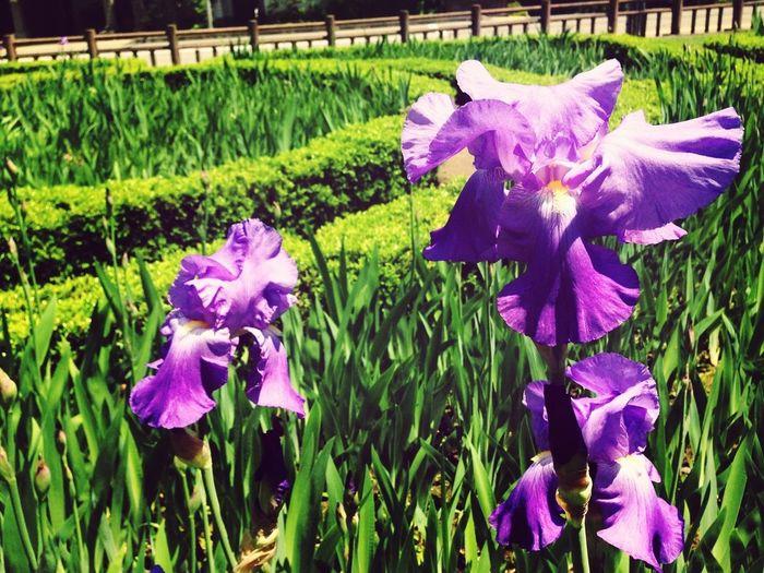 Flowers At The Park Hanging Around Iris