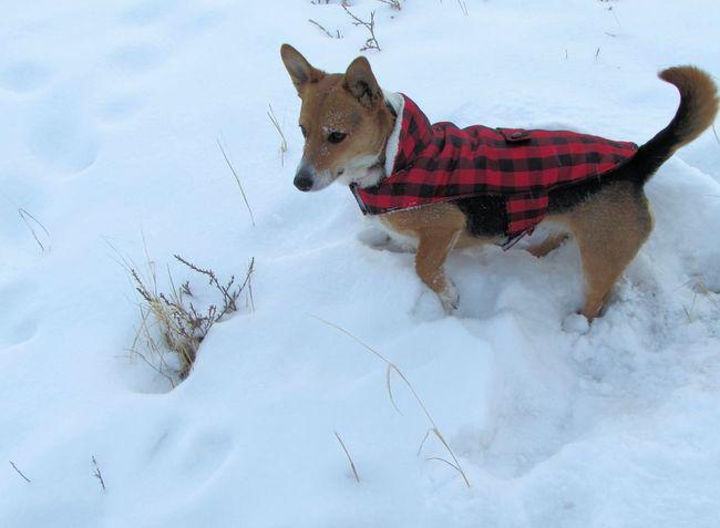 Animal Themes Corgi Corgi :) Cute Cute Animals Cute Dog  Cute Pets Cute♡ Dog Dogs Dogslife Dog❤ Domestic Animals Mammal One Animal Outdoors Pets Playin In The SNOW Playing Snow Snow Covered Snow Day Snow ❄ Snowy Welsh Corgi
