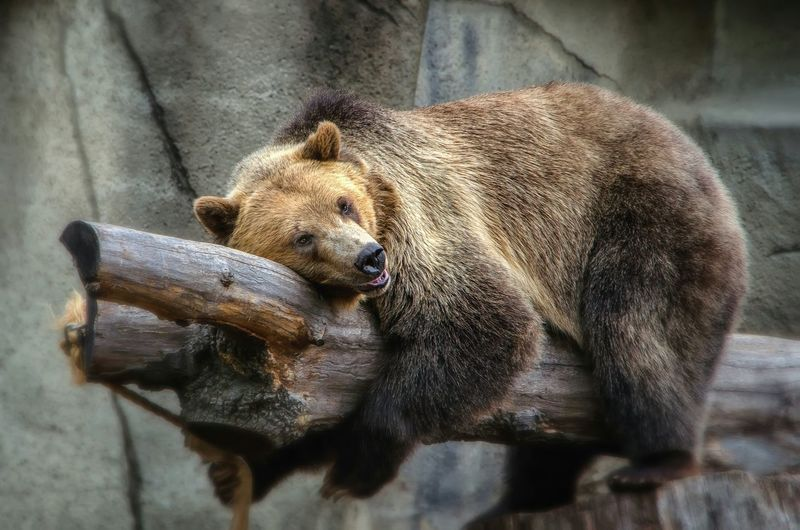 Bear hug. Grizzly Bear Grizzlybear Bears Cleveland Metroparks Zoo Nature_collection EyeEm Nature Lover Nature Photography