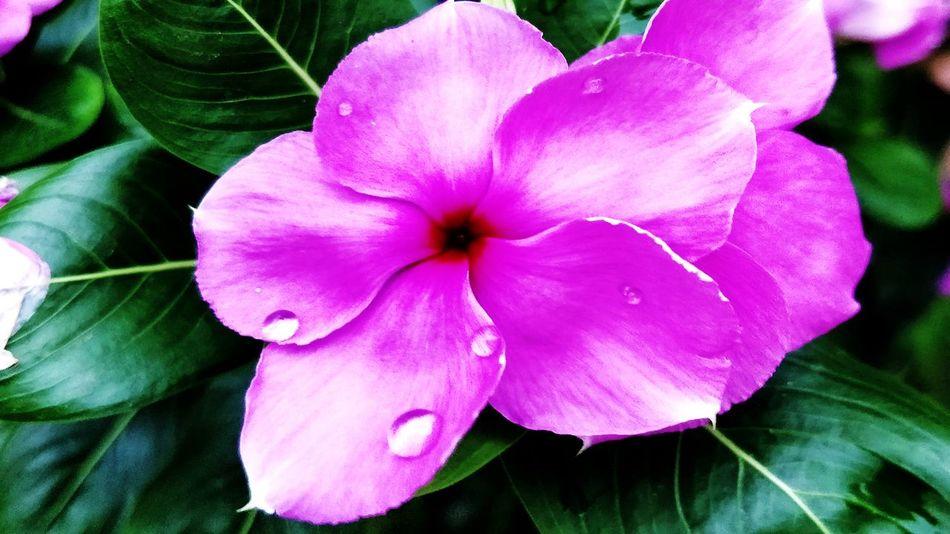Flower Flower Head Flower Petunia Petal Pink Color Close-up Blooming Plant