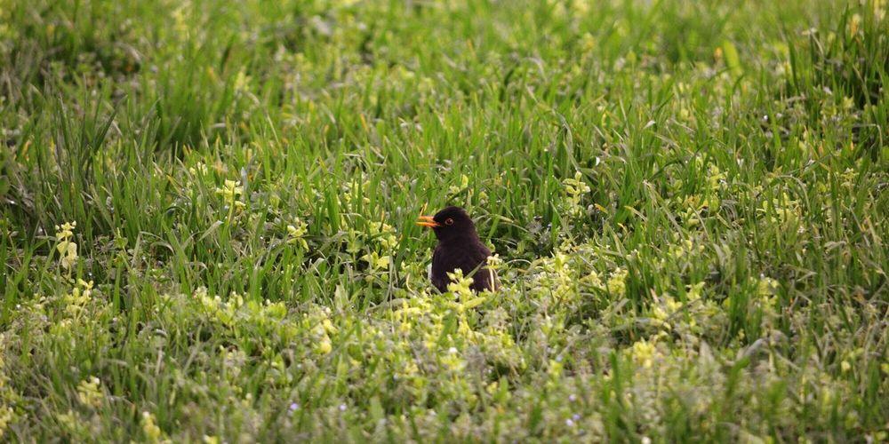 Blackbird perching on field